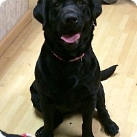 Adopt A Pet :: Moose in CT - Manchester, CT