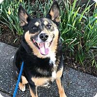 Adopt A Pet :: DOZER (Auburn) Smart, trained, friendly boy - Bainbridge Island, WA