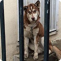Adopt A Pet :: Aria - Downey, CA