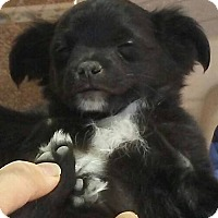 Adopt A Pet :: Kafai - Las Vegas, NV