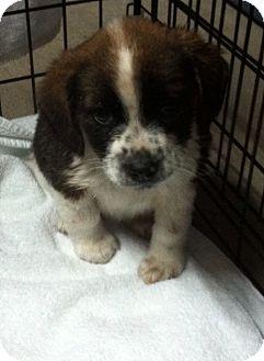 Collie Mix Puppy for adoption in Hazard, Kentucky - Fritzie