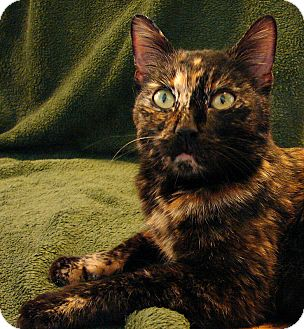 Domestic Shorthair Cat for adoption in Florence, Kentucky - Burst!  (aka Cora)