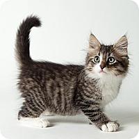 Adopt A Pet :: Cuddles - Rockaway, NJ