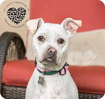 Shar Pei/Labrador Retriever Mix Dog for adoption in Inglewood, California - Maya