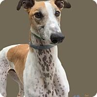 Adopt A Pet :: Ares - Swanzey, NH