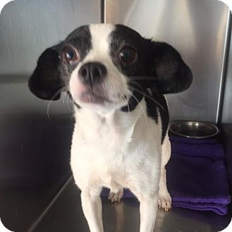 Chihuahua Mix Dog for adoption in Westminster, California - Daisy