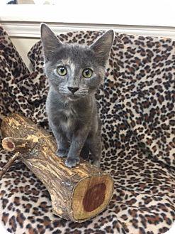 Domestic Shorthair Kitten for adoption in Marshall, Texas - Smokey Sue