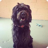 Adopt A Pet :: Shadow - Kansas City, MO