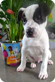 Pointer Mix Puppy for adoption in Fort Collins, Colorado - Newman
