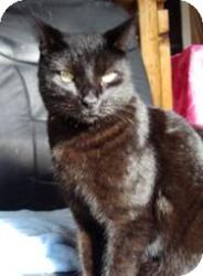 Domestic Shorthair Cat for adoption in Sacramento, California - Zack
