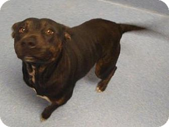 Pit Bull Terrier Mix Dog for adoption in Gainesville, Florida - Princess