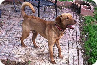 Labrador Retriever Mix Dog for adoption in Somers, Connecticut - Champ