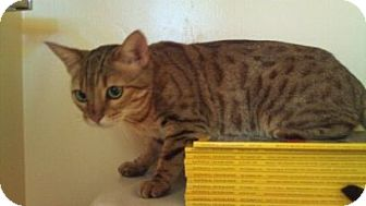 Bengal Cat for adoption in Modesto, California - Lily