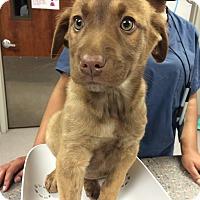 Adopt A Pet :: Hugz: Valentine's Day Pup - Cumming, GA