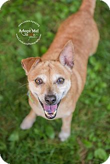 Shiba Inu/Chihuahua Mix Dog for adoption in Cincinnati, Ohio - Sweetie