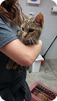 Domestic Shorthair Cat for adoption in Paducah, Kentucky - Cheetah