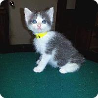 Adopt A Pet :: Kismet - Putnam, CT