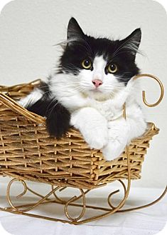 Domestic Mediumhair Kitten for adoption in Dublin, California - Snowflake Sparkly Toes
