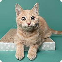 Domestic Shorthair Kitten for adoption in Wilmington, Delaware - Po Boy