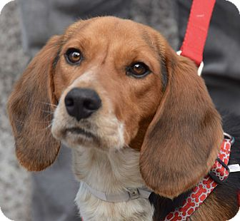 Beagle Puppy for adoption in New York, New York - Rawlins