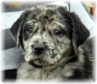 Catahoula Leopard Dog/Labrador Retriever Mix Puppy for adoption in Broomfield, Colorado - IndigoBoy