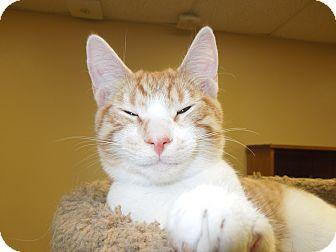 Domestic Shorthair Cat for adoption in Medina, Ohio - Sonny