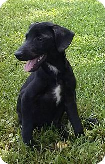 Labrador Retriever Mix Puppy for adoption in Somers, Connecticut - Scooby