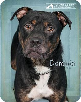 Rottweiler Mix Dog for adoption in Fort Mill, South Carolina - Dominic