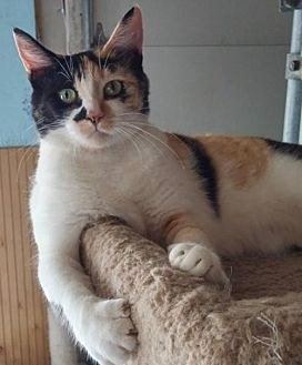 Calico Cat for adoption in Spring Lake, New Jersey - Cali Rose