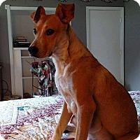 Adopt A Pet :: Ginger - Charlestown, RI
