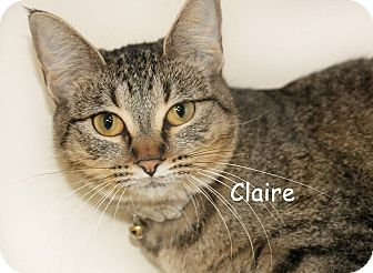 Domestic Shorthair Cat for adoption in Idaho Falls, Idaho - Claire