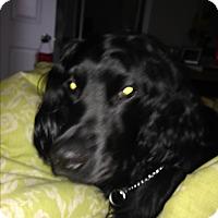 Adopt A Pet :: Tinoir - Vaudreuil-Dorion, QC