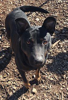 Rottweiler/Labrador Retriever Mix Dog for adoption in Russellville, Kentucky - Ava