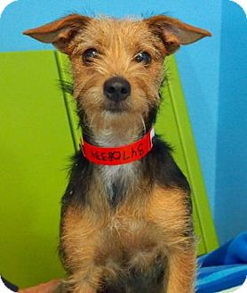 Yorkie, Yorkshire Terrier Mix Dog for adoption in New Orleans, Louisiana - Cindy Lou