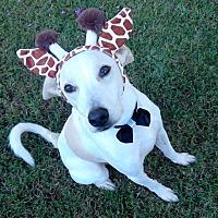 Labrador Retriever/Greyhound Mix Dog for adoption in Vernon, Texas - Marley