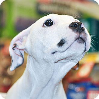 American Bulldog/Boxer Mix Puppy for adoption in Howell, Michigan - Kermit