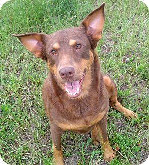 Australian Shepherd/Doberman Pinscher Mix Dog for adoption in Orange Lake, Florida - Silly Syd(ney)
