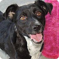 Adopt A Pet :: Heidi - La Habra Heights, CA