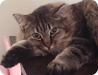 Domestic Mediumhair Cat for adoption in Oakland, Oregon - Sophie 2