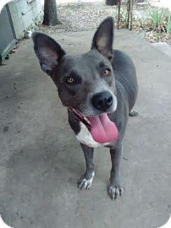 Australian Kelpie/American Pit Bull Terrier Mix Dog for adoption in White Settlement, Texas - Cheyenne