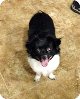 Chihuahua Mix Dog for adoption in Irvine, California - Peanut