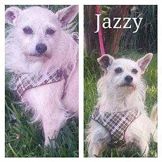 Terrier (Unknown Type, Medium)/Chihuahua Mix Dog for adoption in Fort Worth, Texas - Jazzy