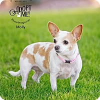 Chihuahua Mix Dog for adoption in Chandler, Arizona - MOLLY