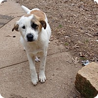 Adopt A Pet :: Angel - Warrenton, NC
