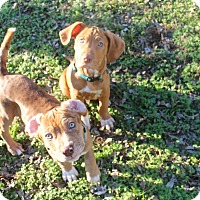 Mixed Breed (Medium) Mix Puppy for adoption in Nanuet, New York - Walt and Disney