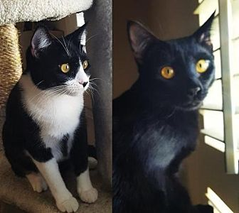 Domestic Shorthair Cat for adoption in Mission Viejo, California - Cookie & Shadow