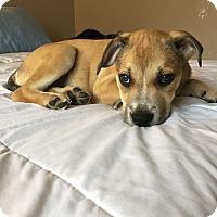 Adopt A Pet :: Cilantro - oklahoma city, OK