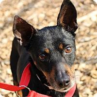 Adopt A Pet :: 24175 - RooRoo - Ellicott City, MD
