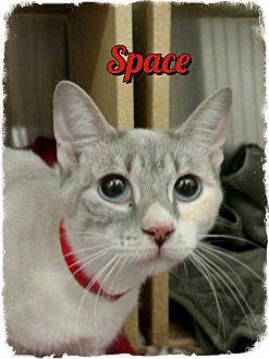Siamese Cat for adoption in Pueblo West, Colorado - Space