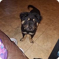 Chow Chow/Rottweiler Mix Puppy for adoption in Fort Worth, Texas - Max